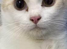 زوج قطط الشيرازي انقورا التركي للبيع