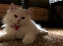قطة انثى نوع شانشيلا لون ابيض