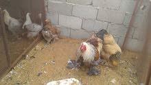 دجاجة وديك بي فروخهم براهما للبيع
