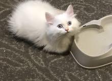 قطط بعمر 3 شهور