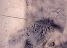قطة تركية أنجورا