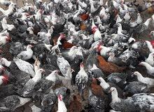 دجاج فيومي للبيع 0923804757 جملة 300 دجاج