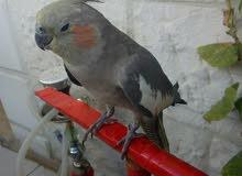 طير الكوكتيل