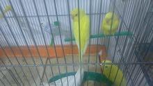 طيور حب كوم كامل في البينو معه كلو شغال وفي جواز فنجز كمان شغال للبيع