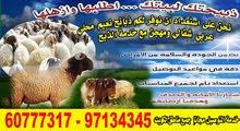اغنام للبيع مع التوصيل جميع مناطق الكويت مجانا