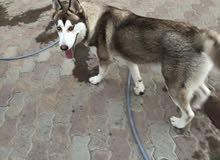 كلب سايبرين هاسكي مستوى عالي  للتزاوج فقط مش للبيع ( الابن)