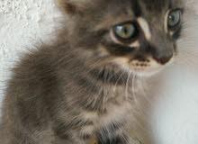قط رمادي ذو اعين خضراء نصف اجنبي نصف عربي