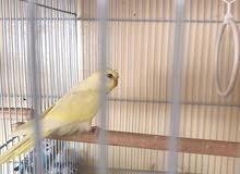 طائر الهوجو للبيع