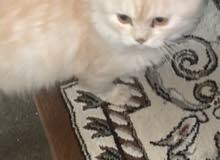 قطوه شيرازيه
