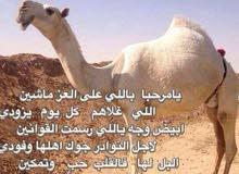 حلاقة وغسيل الابل كل مناطق الكويت