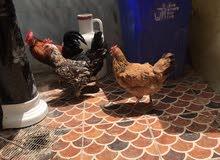 دجاج عربي 3 دجاجات وديج. ابيعهن بيعه وحدهب60  وشرط بياضات