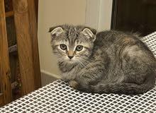 Scottish fold kitten 8 weeks old