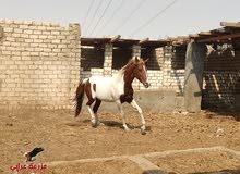 فرس عشر ملونه - خيل للبيع في مصر - بسعر رائع - مدربة أدب (رقص)