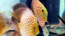 Discus imported for sale