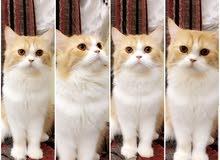 قطة انثى شيرازي