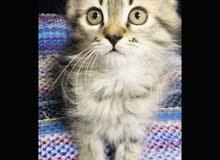 female Persian/shirazi kitten