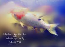 koi fish..