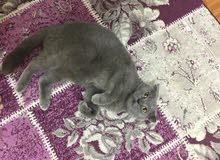قطة اسكوتش فولد بيور لتزوج انثى العمر سنه 3 شهور