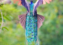 زوج طاووس هندي منتج