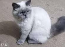 قطط للبيع هماليا وشيرازي بملحقاتها