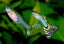 أسماك زينة ولود ... نوع جووبي بحالة جيدة والوان زاهية