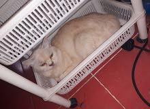 قطة شيرازي بيضاء