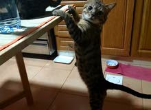 pure male bengal cat for mating only