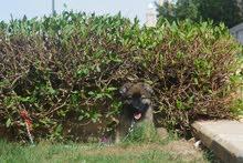 كلب للبيع _ قوقازي cuocasion
