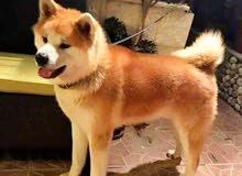 كلب اكيتا.   0785550555