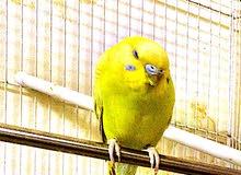 أنثى طيور الحب (بادجي)للبيع