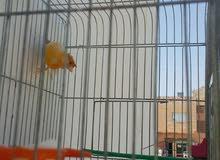 كوم طيور للبيع