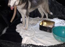 كلب هوسكي  اصلي ما مضرب  عمر 9 أشهر  جاهز للتدريب