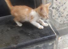 قطه صغيره للبيع نوع بلدي