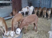 17 خروف خرطومي