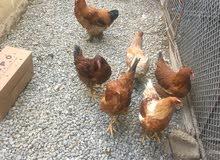 دجاج هولندي احجام طيب لله الحمد