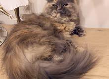 قطة شيرازيه منتجه 700 ريال