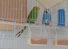 عصافير الحب