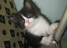 قطة شيرازى بنت