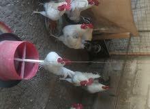 دجاج فرنسي بيور