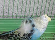 طيور حب+زوج هاجيرمو+زوج كوكتيل