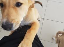 كلب لابرادور مكس للبيع labrador mix 3 month old