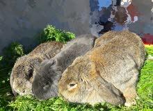 أرانب اللوب الفرنسي ( الحجم المتوسط )
