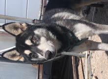 كلب هاسكي عمر 5 شهور