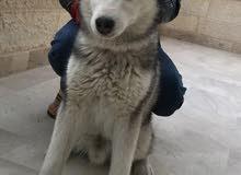 كلب هاسكي ذكر للبيع لعدم التفرغ عمر 6 اشهر