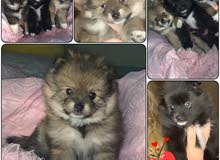 Pure Breed POMERANIAN puppies Available