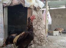 ديج هندي رس مع دجاجه بياضه  في ابو الخصيب  07740157145