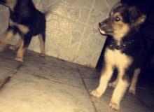 للبيع كلاب اثنين ذكر ونثيى السعر 80قابل للمساومه جيرمن صغار