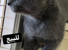 British shorthair cat & Exotic cat للبيع