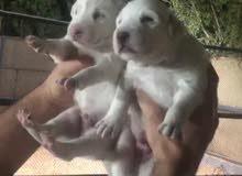 White Labrador Puppy