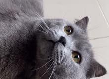 British cat for sale